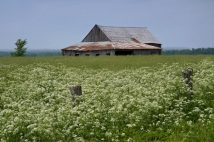 Barn and Wild Flowers