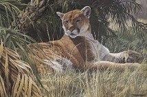 Last Sanctuary- Florida Panther