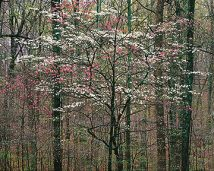 Pink and White Dogwoods, Kentucky